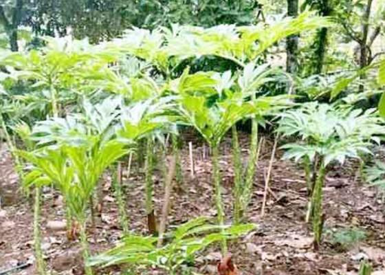 Nusabali.com - tanaman-porang-lagi-ngetren-badung-belum-memiliki-program-pengembangan