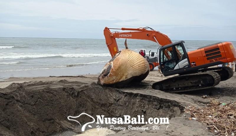 www.nusabali.com-bangkai-paus-terdampar-di-tepi-pantai-batu-belig