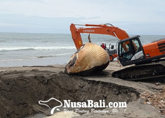 Nusabali.com - bangkai-paus-terdampar-di-tepi-pantai-batu-belig