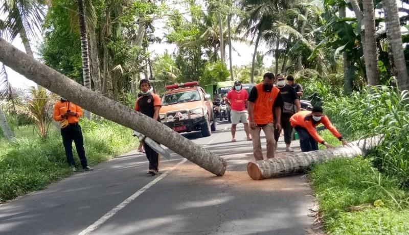 www.nusabali.com-tumbang-pohon-kelapa-tutup-jalan-ke-pantai-saba
