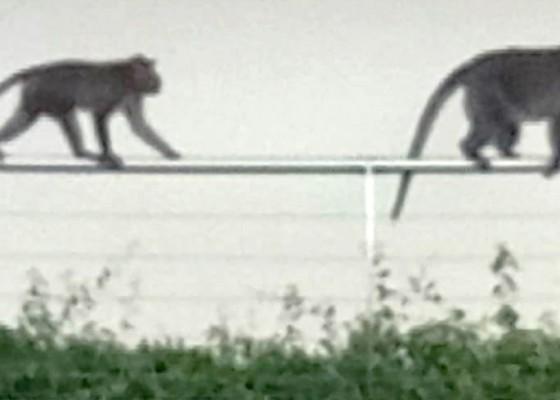 Nusabali.com - monyet-liar-bikin-resah-warga-legian
