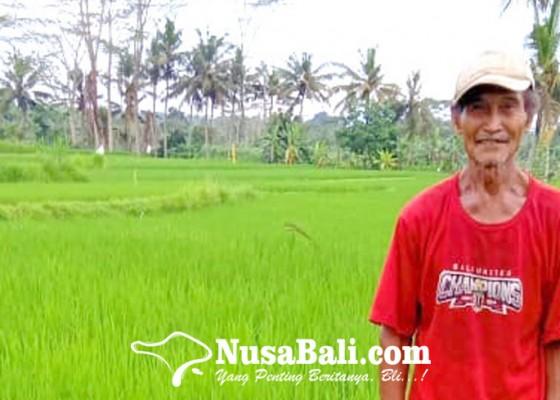 Nusabali.com - tungro-serang-padi-di-gianyar