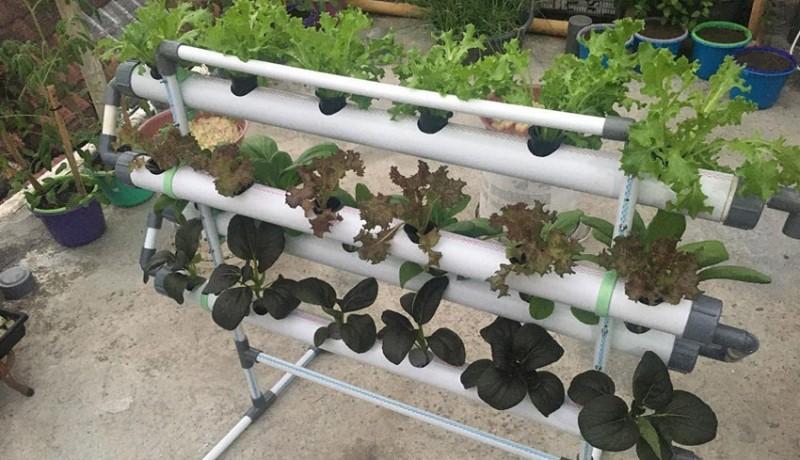 www.nusabali.com-lima-jenis-tanaman-hidroponik-yang-paling-mudah-ditanam