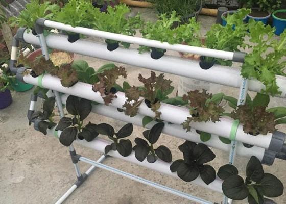 Nusabali.com - lima-jenis-tanaman-hidroponik-yang-paling-mudah-ditanam