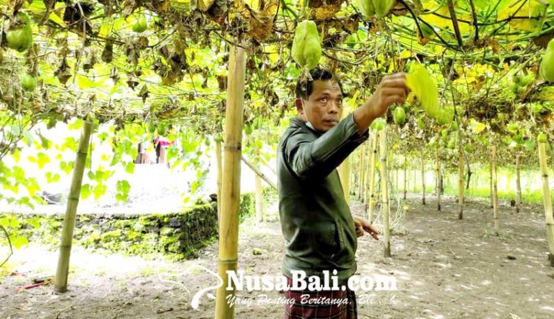 www.nusabali.com-hujan-angin-petani-labu-siam-cemas