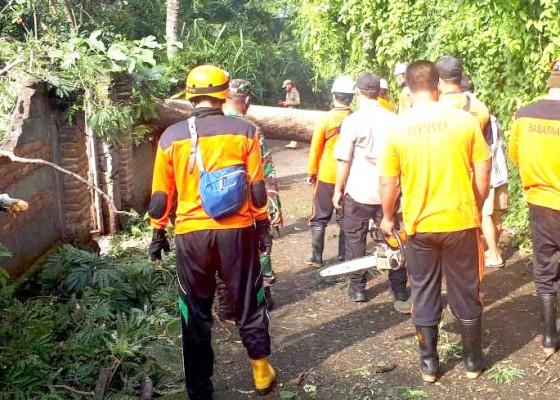 Nusabali.com - pohon-tumbang-di-desa-mayong-timpa-tiang-listrik-dan-tutup-jalan