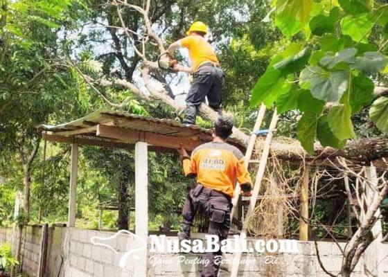 Nusabali.com - pohon-tumbang-timpa-kandang-babi
