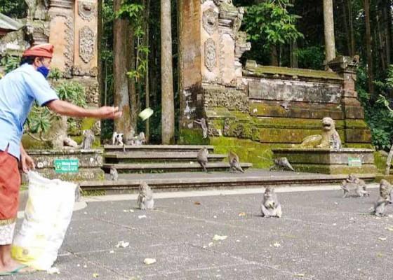 Nusabali.com - pengelola-objek-wisata-sangeh-was-was-anggaran-untuk-pakan-monyet-habis
