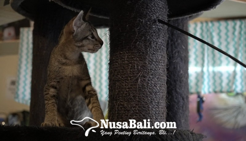 www.nusabali.com-belasan-kucing-punya-nama-dan-cerita-di-cat-cafe-sanur