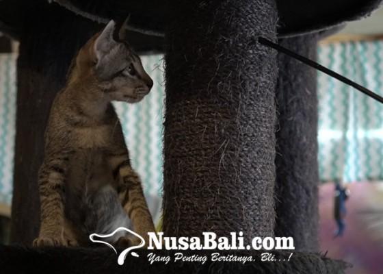 Nusabali.com - belasan-kucing-punya-nama-dan-cerita-di-cat-cafe-sanur