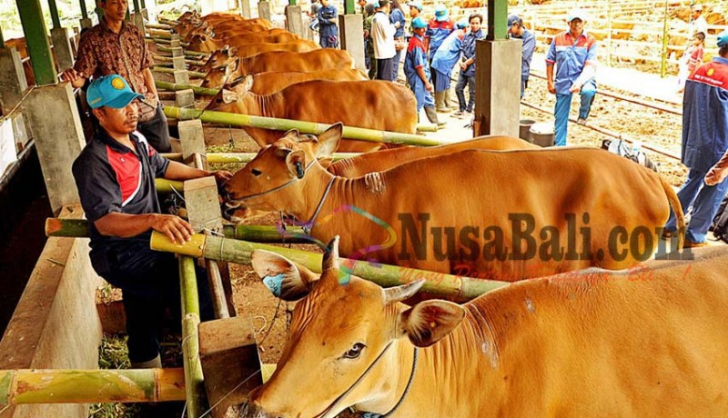 www.nusabali.com-badung-panen-1000-godel-hasil-kawin-suntik