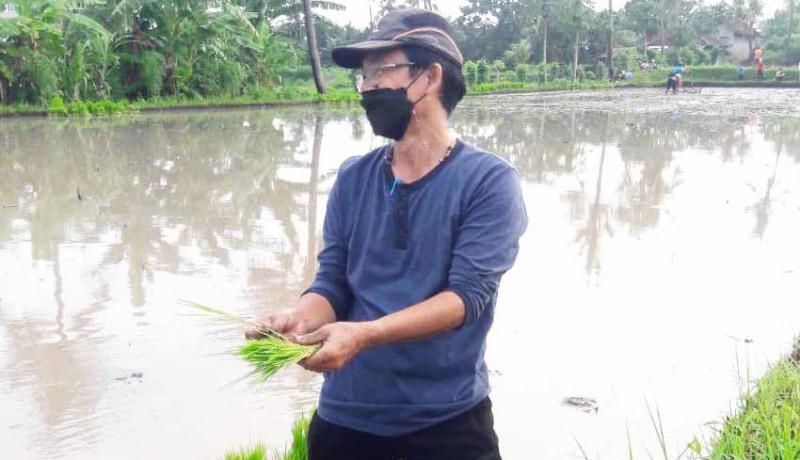 www.nusabali.com-distan-aplikasikan-eco-farming-tingkatkan-hasil-kualitas-padi