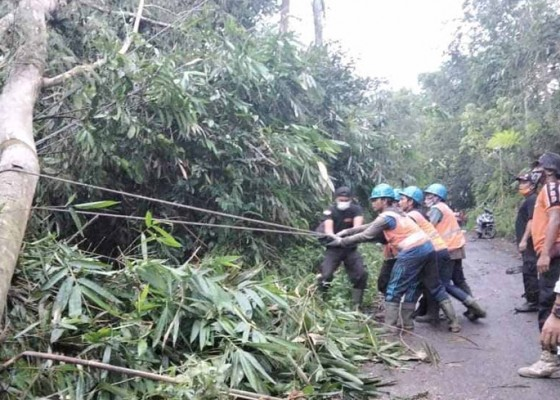 Nusabali.com - diguyur-hujan-lima-pohon-bertumbangan