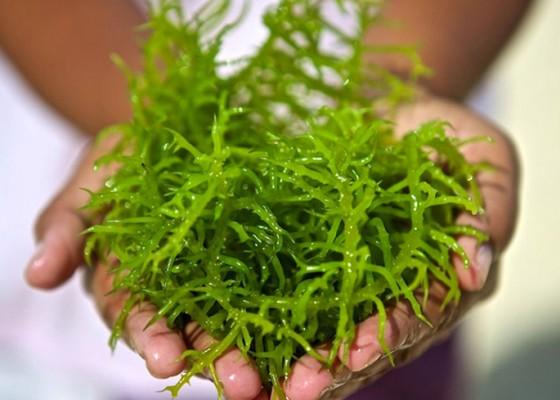 Nusabali.com - petani-rumput-laut-minta-bantuan-bibit