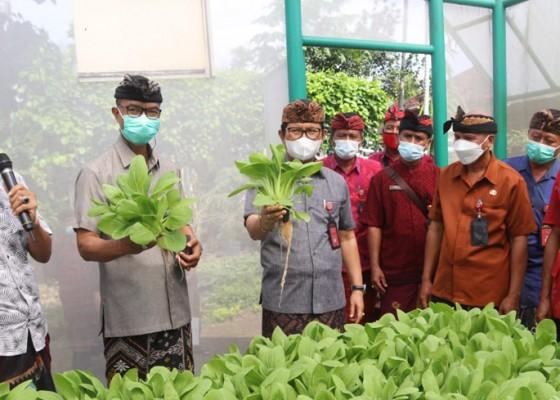 Nusabali.com - adi-arnawa-panen-sayuran-hidroponik