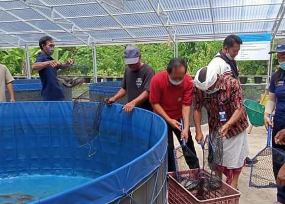 Nusabali.com - panen-lele-bioflok-capai-ratusan-kilogram
