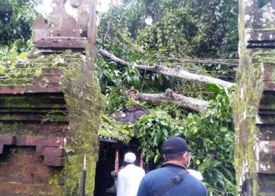 Nusabali.com - hujan-deras-pohon-tumbang-timpa-pelinggih-pura-prajapati