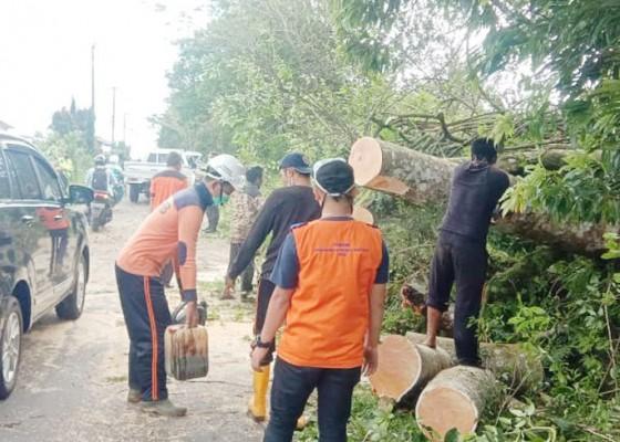 Nusabali.com - pohon-tumbang-di-4-titik-di-buleleng