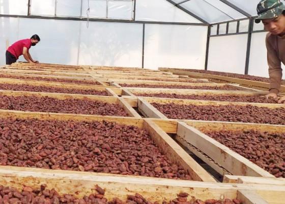 Nusabali.com - kakao-bali-disukai-pasar-dunia