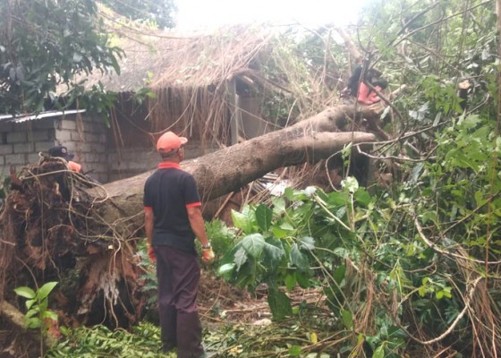Nusabali.com - pohon-santan-timpa-rumah