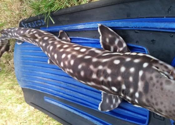 Nusabali.com - tiga-ekor-hiu-mati-di-perairan-buleleng