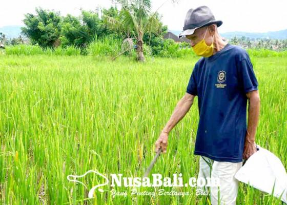 Nusabali.com - busuk-batang-panen-padi-turun-83