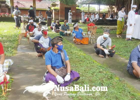 Nusabali.com - gelar-mapepada-puluhan-hewan-kurban-disucikan