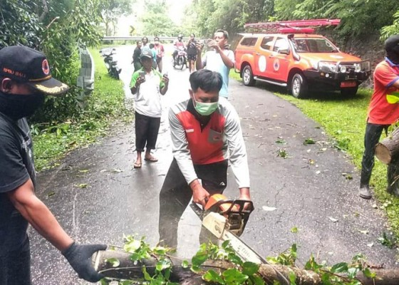 Nusabali.com - hujan-deras-pohon-sonokeling-tumbang