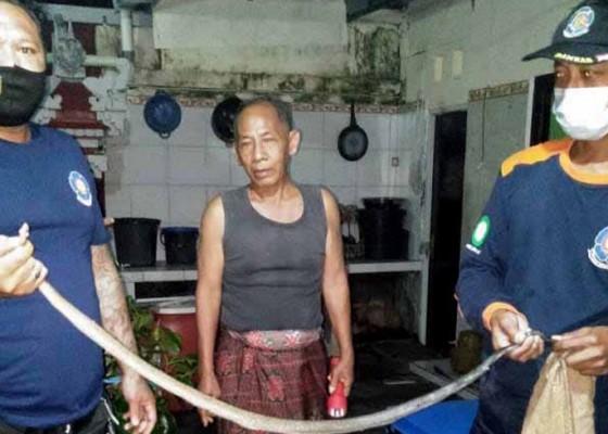 Nusabali.com - petugas-damkar-tangkap-ular-masuk-rumah
