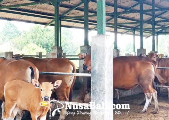 Nusabali.com - sentra-ternak-sobangan-pelihara-134-ekor-pedet