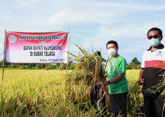 Nusabali.com - klungkung-panen-padi-hibrida-sembana-168