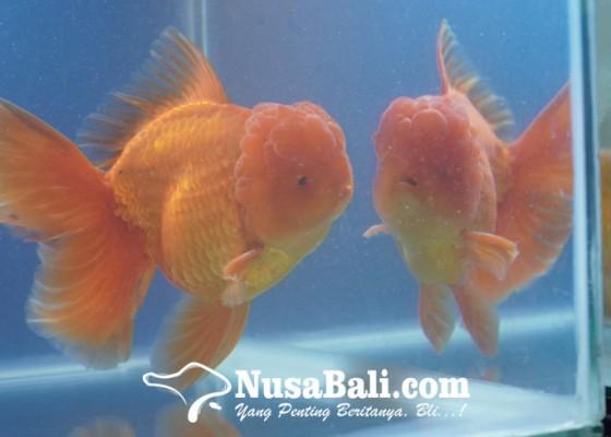 Nusabali.com - bali-goldfish-united-gelar-mini-show-dan-kompetisi-ikan-mas-koki