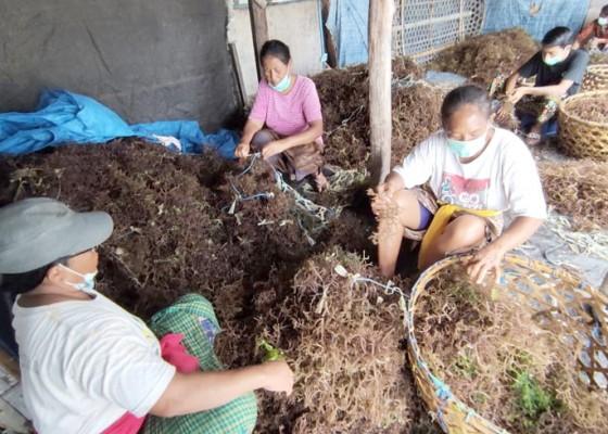 Nusabali.com - rumput-laut-di-nusa-penida-kembali-terserang-penyakit
