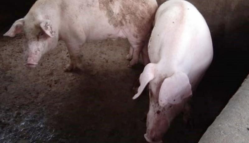 www.nusabali.com-gianyar-siapkan-20466-babi-untuk-galungan
