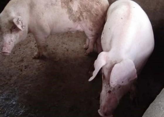 Nusabali.com - gianyar-siapkan-20466-babi-untuk-galungan