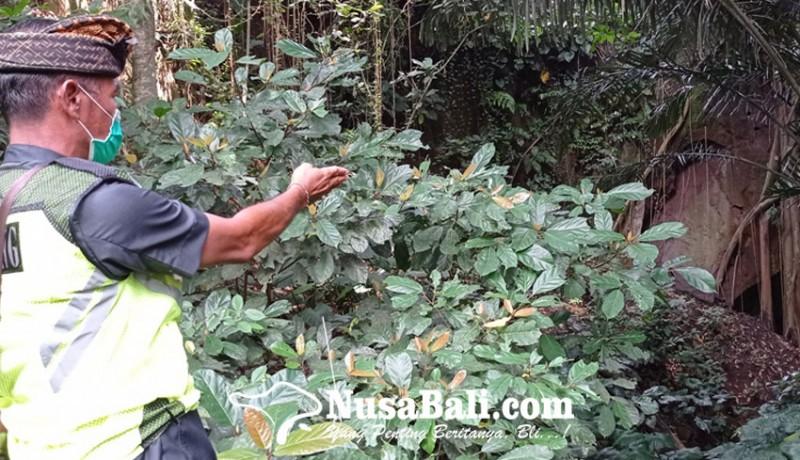 www.nusabali.com-karena-kena-kutukan-raksasa-penculik-penari-rejang