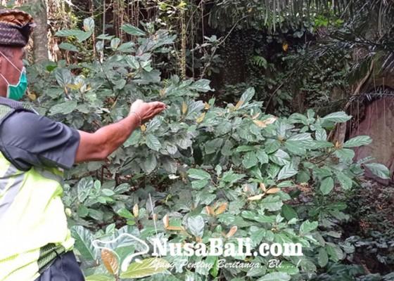 Nusabali.com - karena-kena-kutukan-raksasa-penculik-penari-rejang