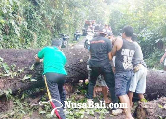 Nusabali.com - pohon-tumbang-tutup-jalan-di-desa-selumbung
