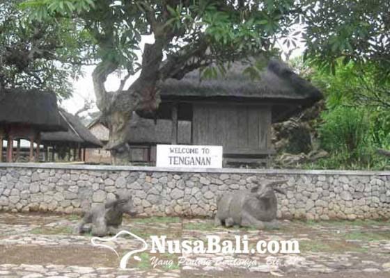 Nusabali.com - mengintip-kerbau-suci-di-tenganan-pagringsingan