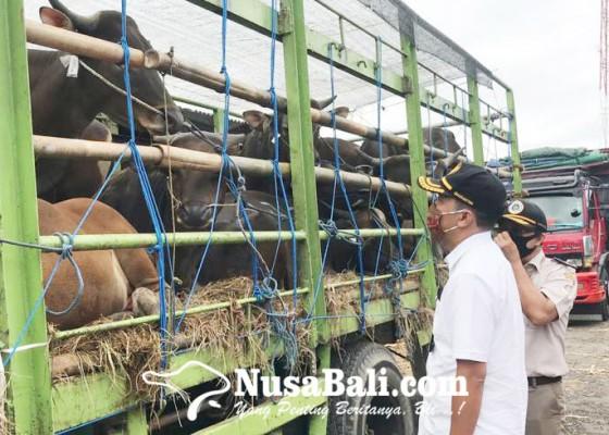 Nusabali.com - 36600-sapi-bali-siap-dikirim