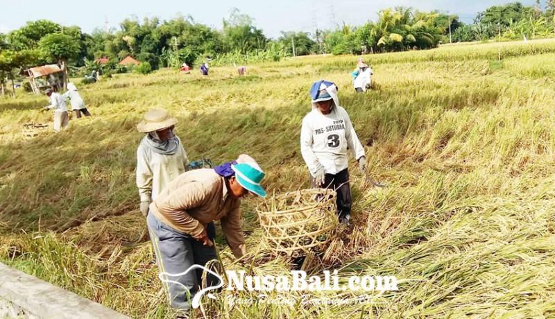 www.nusabali.com-produksi-padi-2020-turun-drastis