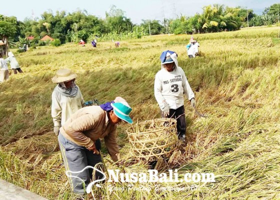 Nusabali.com - produksi-padi-2020-turun-drastis