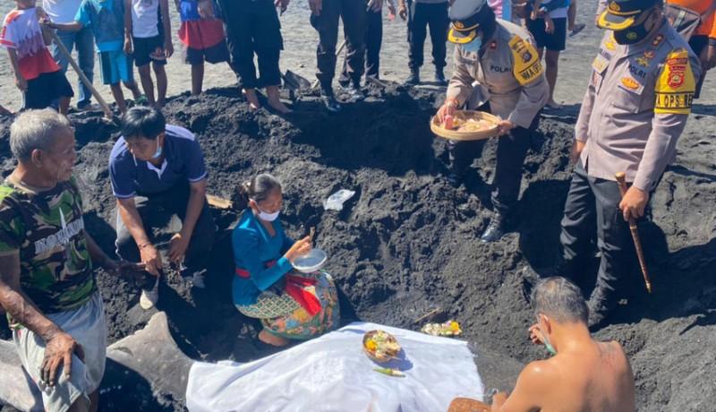 www.nusabali.com-hiu-paus-terdampar-di-pantai-tegal-besar-mati
