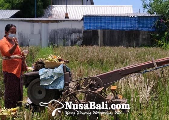 Nusabali.com - krama-bali-mesti-pasaja-dan-sutindih
