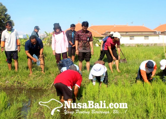 Nusabali.com - rekayasa-genetik-padi-beras-merah-desa-munduk-masuki-uji-coba-tahap-iii