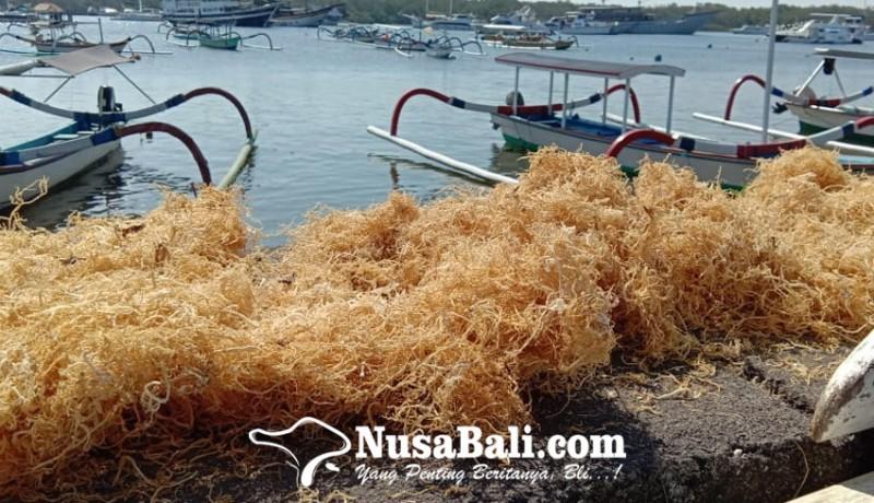 www.nusabali.com-pandemi-di-bali-pekerja-swasta-beralih-jadi-petani-rumput-laut