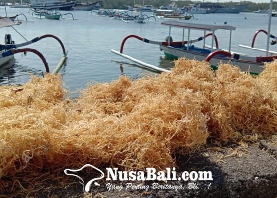 Nusabali.com - pandemi-di-bali-pekerja-swasta-beralih-jadi-petani-rumput-laut