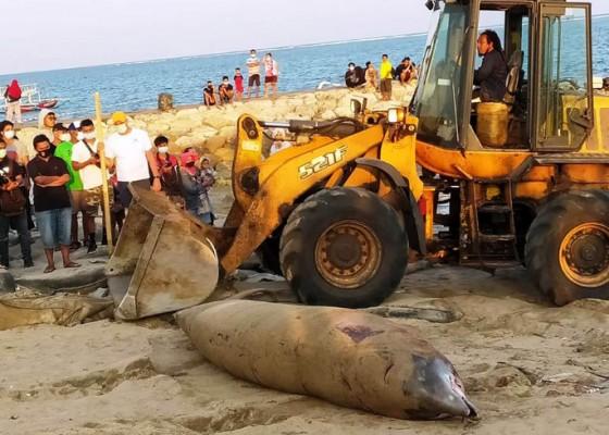 Nusabali.com - bangkai-paus-seberat-1-ton-ditemukan-di-pantai-mertasari