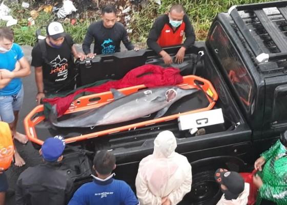 Nusabali.com - luka-parah-seekor-lumba-lumba-mati