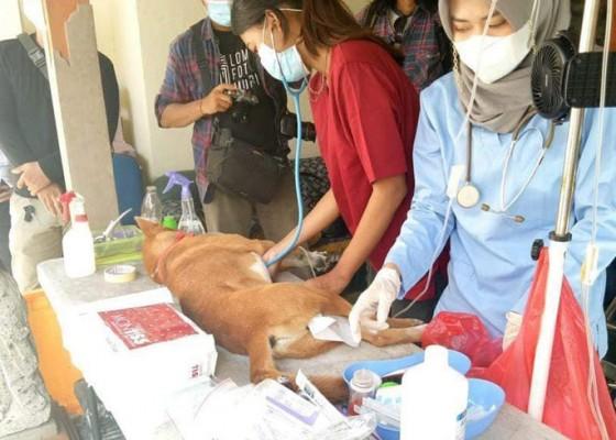 Nusabali.com - 19370-anjing-di-denpasar-sudah-disuntik-var